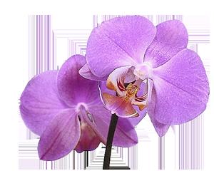 les-lataniers-reunion-fleur01