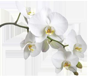 orchidee-ile-reunion-G