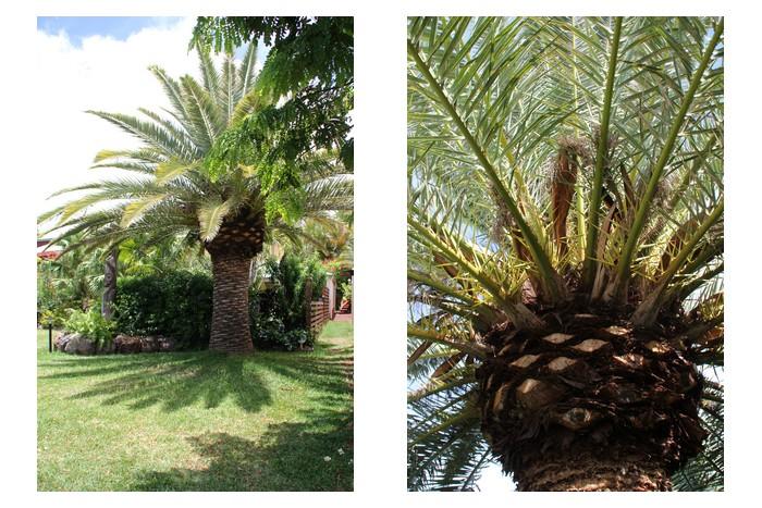 palmiers du jardin des lataniers. Black Bedroom Furniture Sets. Home Design Ideas