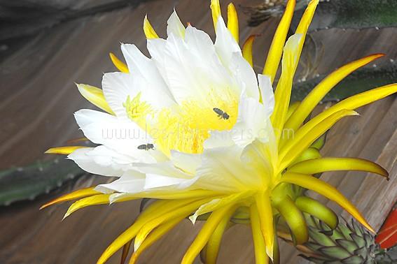 pitaya-en-fleur