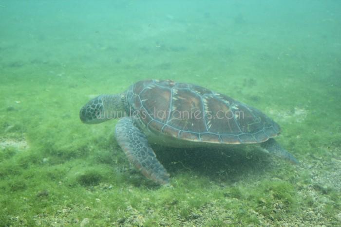 kelonia-tortue-saint-leu-004