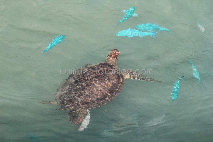 kelonia-tortue-saint-leu-005