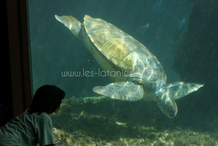 kelonia-tortue-saint-leu-006