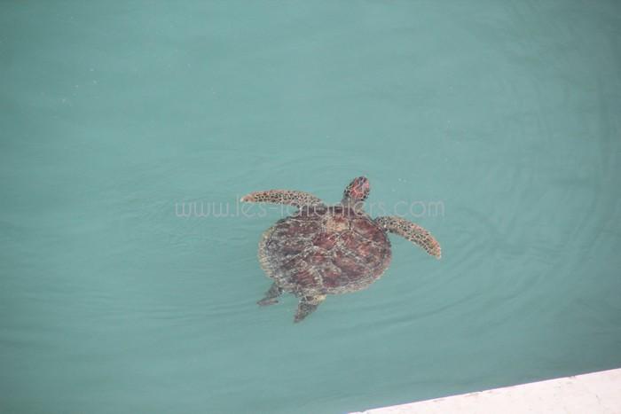 kelonia-tortue-saint-leu-007
