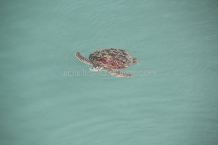 kelonia-tortue-saint-leu-008