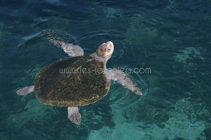 kelonia-tortue-saint-leu-009