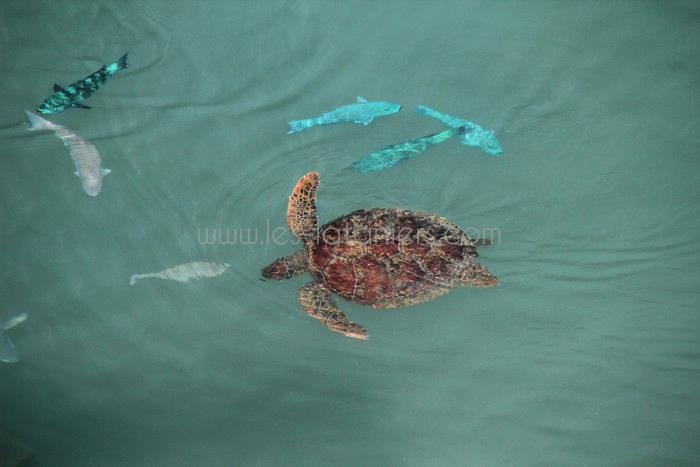 kelonia-tortue-saint-leu-010