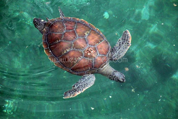 kelonia-tortue-saint-leu-011