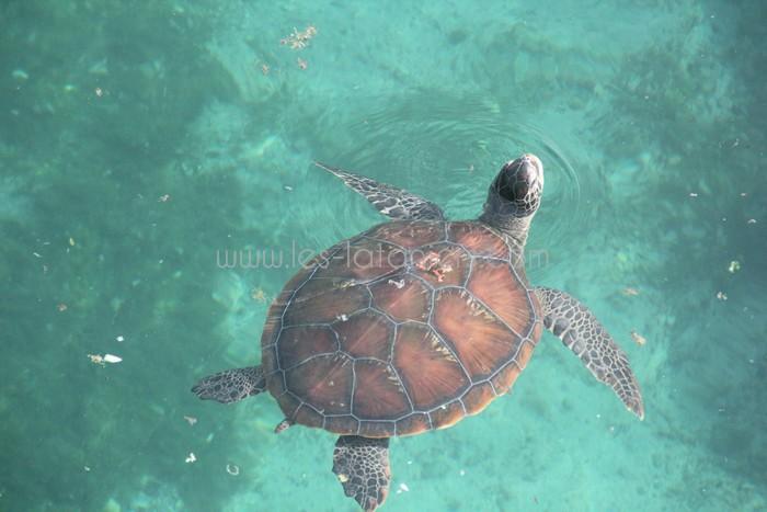 kelonia-tortue-saint-leu-012