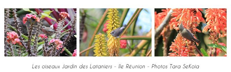 oiseaux-ile-reunion-lataniers-001