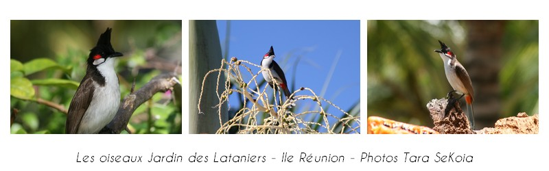 oiseaux-ile-reunion-lataniers-002