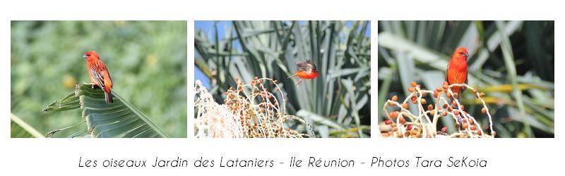 oiseaux-ile-reunion-lataniers-003