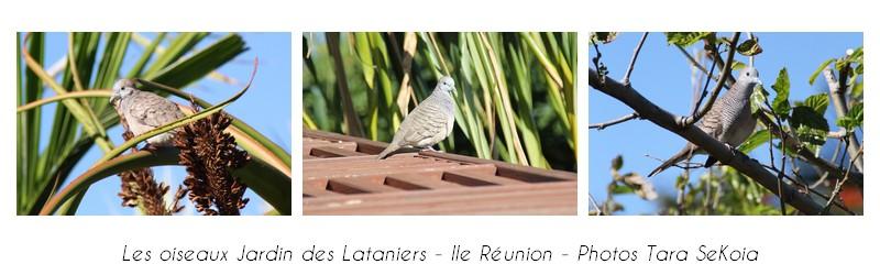 oiseaux-ile-reunion-lataniers-004