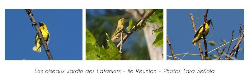 oiseaux-ile-reunion-lataniers-005