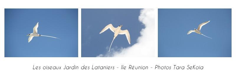 oiseaux-ile-reunion-lataniers-006