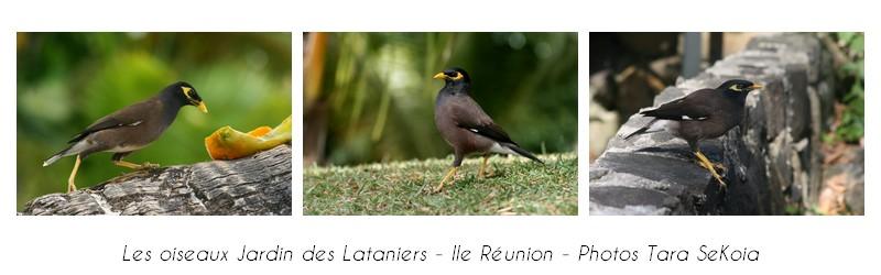 oiseaux-ile-reunion-lataniers-007