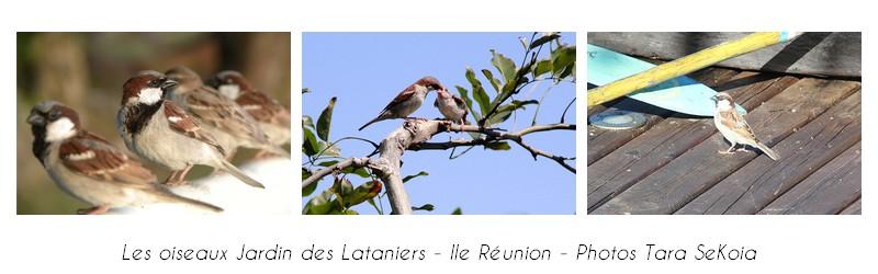 oiseaux-ile-reunion-lataniers-008
