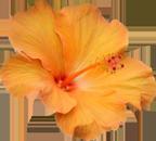 hibiscus-ile-reunion