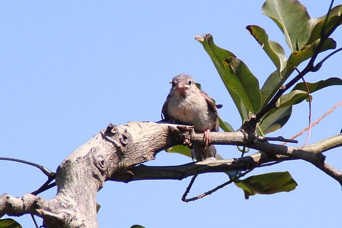 oiseaux-ile-reunion-021