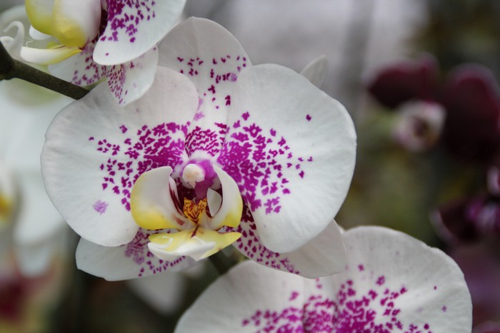 orchidee-ile-reunion-011