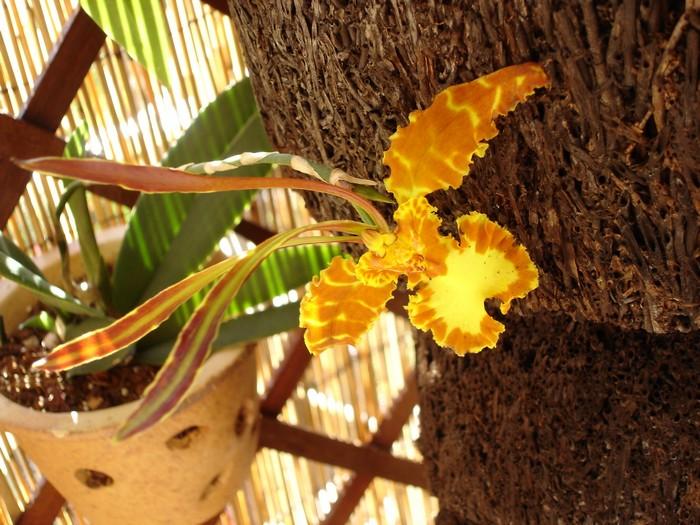 Orchidée La Réunion