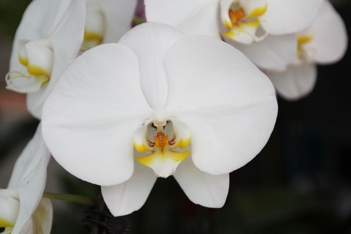 orchidee-ile-reunion-016