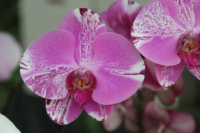 orchidee-ile-reunion-017