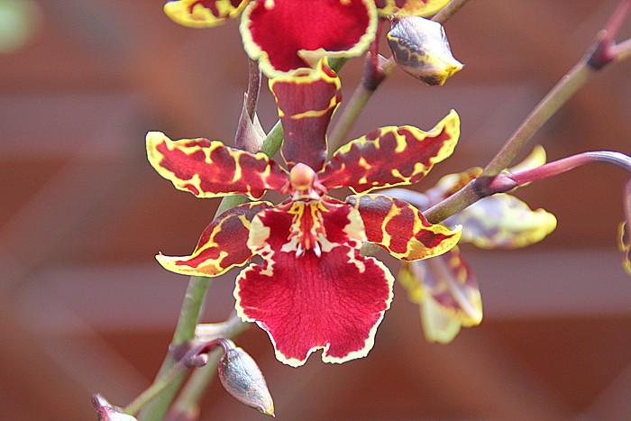 orchidee-ile-reunion-018
