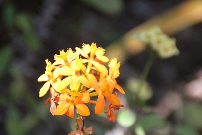 orchidee-ile-reunion-019