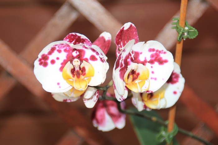 orchidee-ile-reunion-020