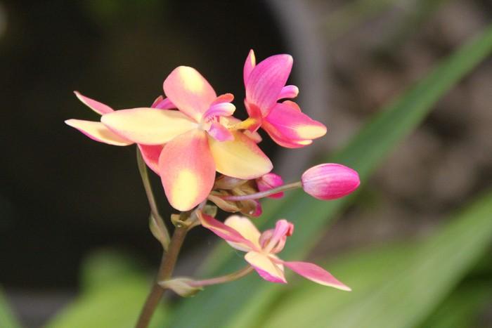 orchidee-ile-reunion-022