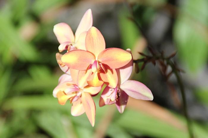 orchidee-ile-reunion-027