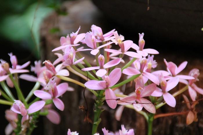 orchidee-ile-reunion-030