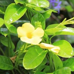 Fleur Jaune Ile Maurice
