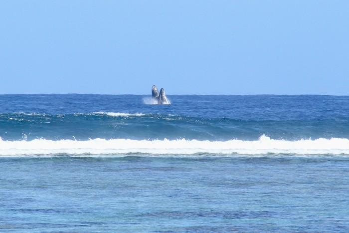 baleines-ile-reunion-005