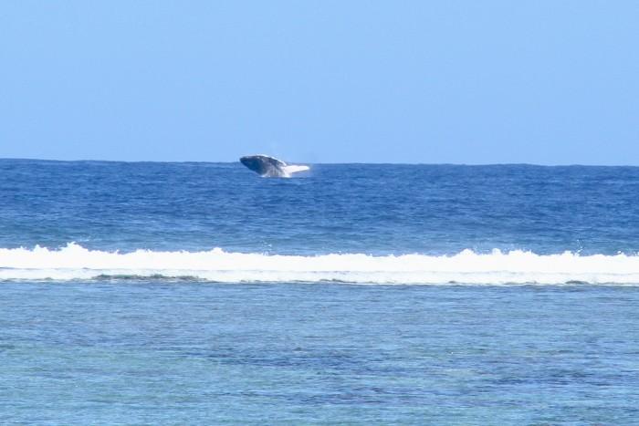 baleines-ile-reunion-010