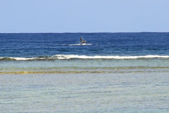 baleines-ile-reunion-012